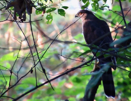 York, Pensilvania: A Cooper's Hawk was perched low on some branches away from the trail.