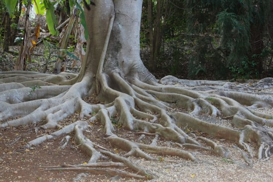 Yandina, Australia: More interesting tree roots