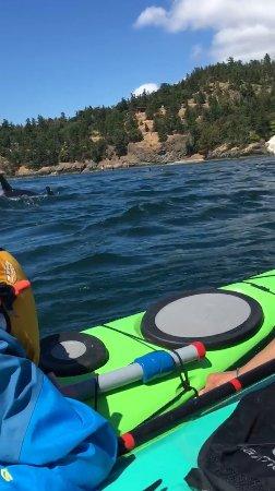 فرايداي هاربور, واشنطن: More orcas!