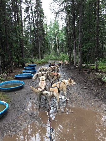 Carcross, Канада: Dog mushing/pools wee to cool off in