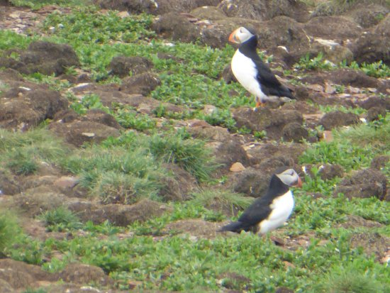 Bay Bulls, Canadá: Puffins abound