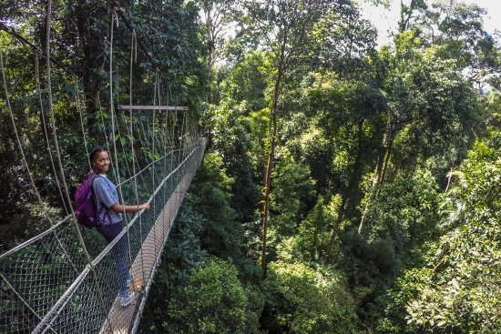 Pahang, Malezja: Clutching on tight at the Canopy Walk