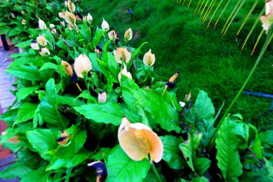 Narayangaon, India: Flowers and lillies in the garden