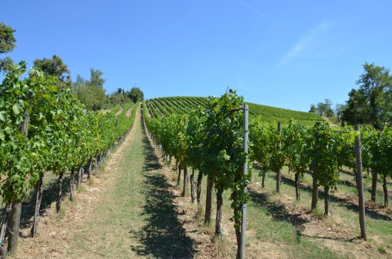 Monte San Pietro, Italy: The wineyard