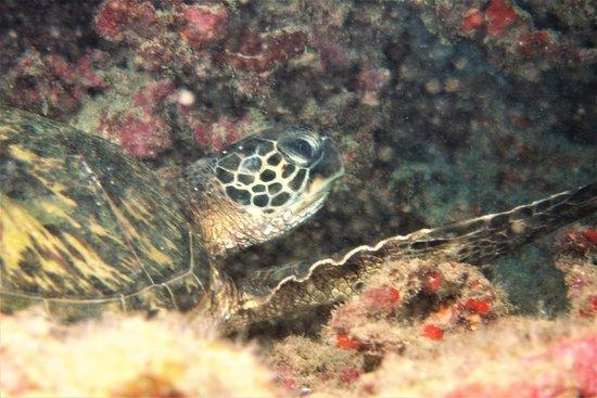 Koloa, HI: Sleepy Turtle