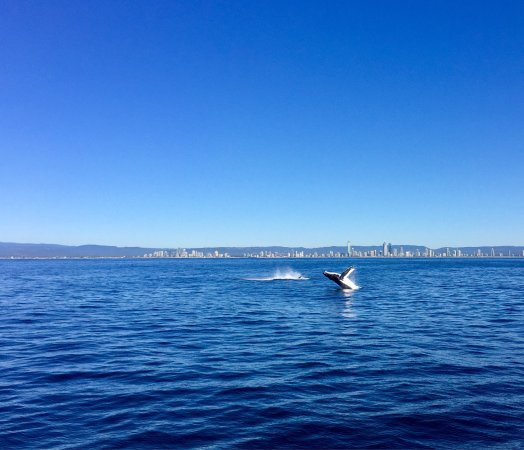 Whales in Paradise - Gold Coast Whale Watching Pty Ltd : photo0.jpg