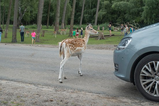 Hodenhagen, Germany: Animals walking directly in front of cars