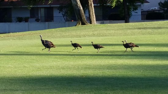 Ramona, CA: Turkeys on the golf course :)