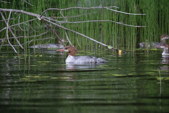 Inlet, NY: Common Merganser near the campground