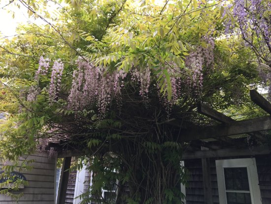 West Barnstable, MA: Wisteria in bloom at the private entrance to the Wisteria Room.  Very fragrant!