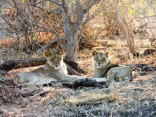 Mashatu Game Reserve, بوتسوانا: Des lions agés de deux ans en pause sieste !