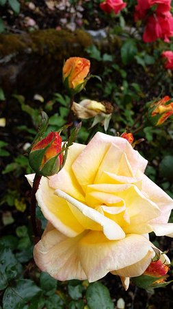 Crieff, UK: Beautiful roses from near the greenhouse.