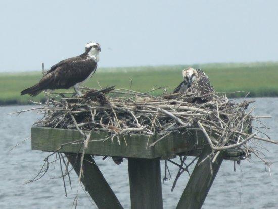Oceanville, Νιού Τζέρσεϊ: Osprey family