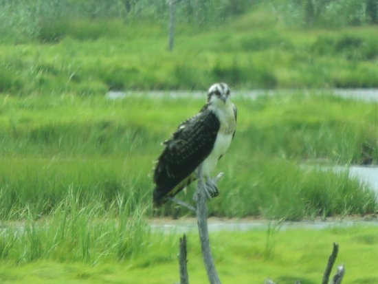 Oceanville, NJ: Young Osprey