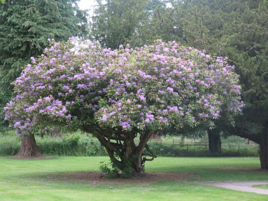 Dunkeld, UK: Dunkled, rodhodendron dans le parc de la cathédrale
