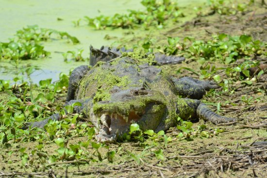 Croclandia & The American Crocodile Sanctuary