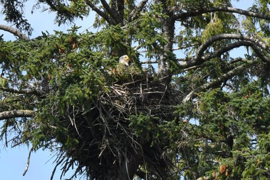 Southeast Exposure Outdoor Adventure Center: Bald eagle on Eagle Island nest