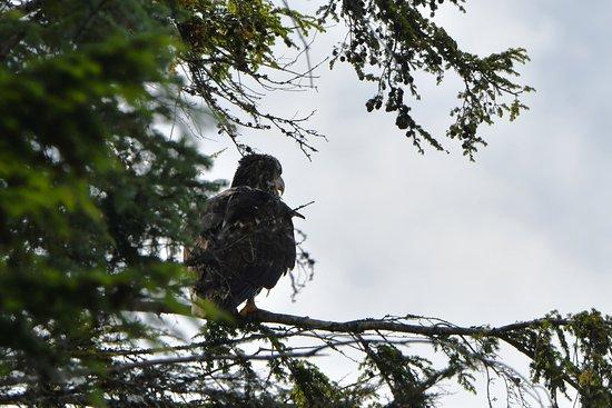 Southeast Exposure Outdoor Adventure Center: Juvenile bald eagle