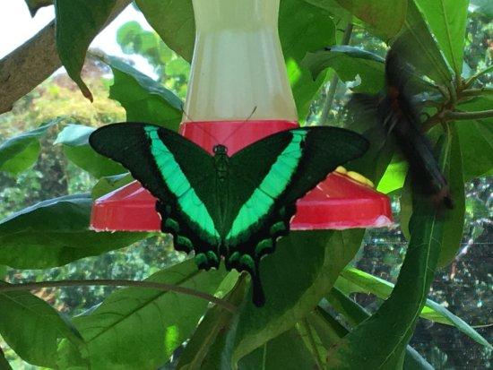 papillons saint martin