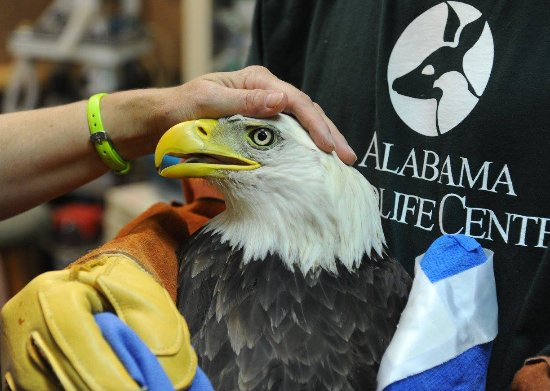 Pelham, AL: Treating a bald eagle