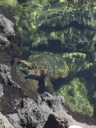 Richardson Beach Park : One of several turtles swimming in the water pools