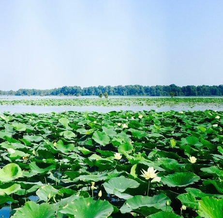 Tiptonville, TN: Water Lilies, near Samburg