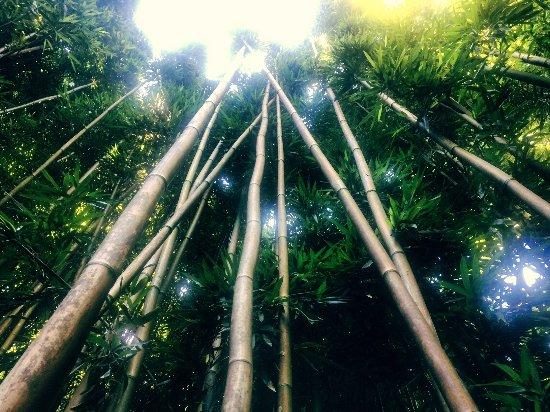 Pipiwai Trail bamboo forest