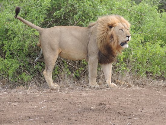Mkuze, South Africa: Up close and personal with the king of the jungle.
