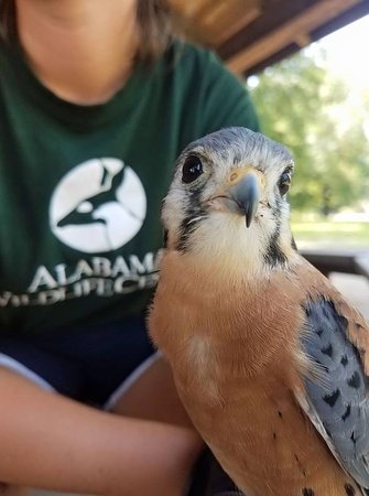 Pelham, AL: Legacy the American Kestrel, one of our education ambassadors, would love to visit with you!