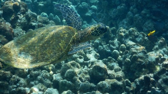 Honaunau, HI: Green sea turtle