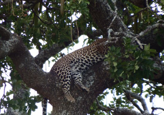 Mto wa Mbu, Tanzania: Leopard taking siesta in Serengeti.