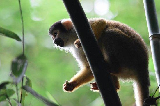 Tambopata Research Center: We say 5 different types of monkeys!