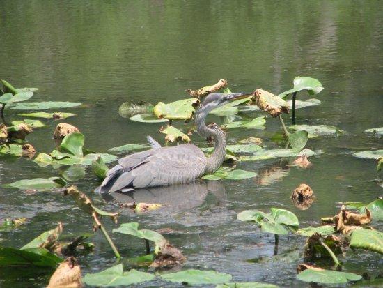 Heron Picture Of Kenilworth Park And Aquatic Gardens Washington Dc Tripadvisor