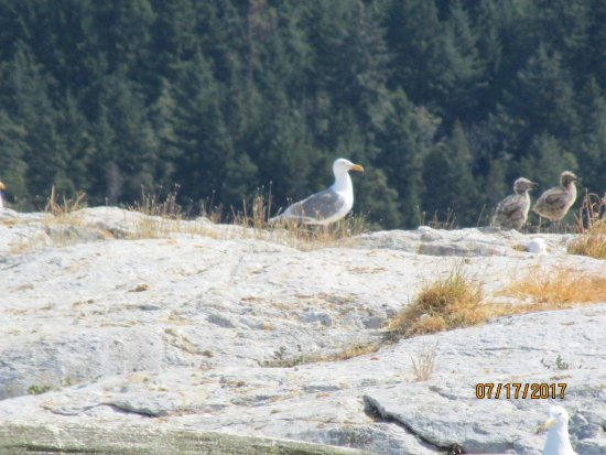 Lund, Kanada: Two fluffy seagull chicks with their parent