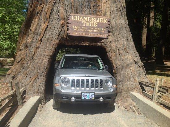 Легджетт, Калифорния: Redwood tree, 2400 years old!