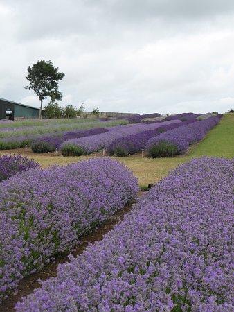 Broadway, UK: Cotswold Lavender