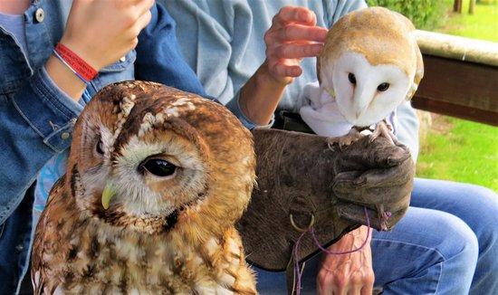 Ringwood, UK: Tawny and barn owls