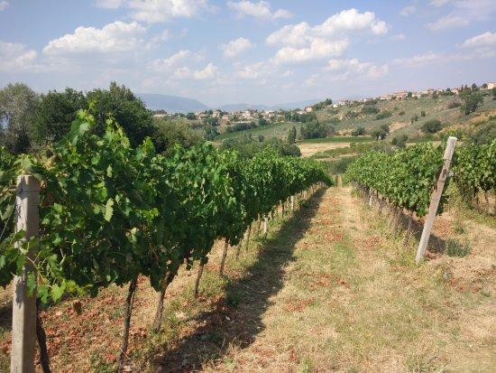 Montefalco, Italy: the vines