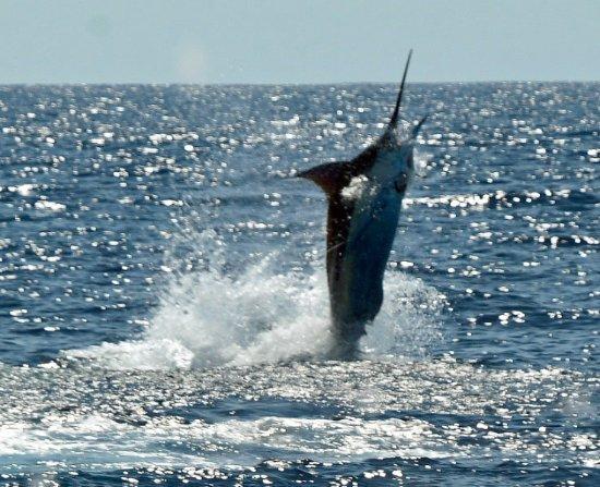 Herradura, Costa Rica: Blue Marlin