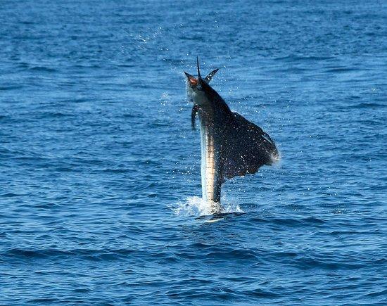 Herradura, Costa Rica: Sailfish dance!!