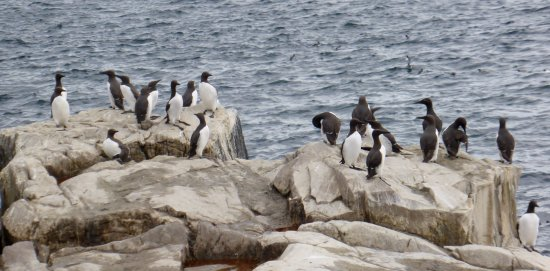 Графство Нортумберленд, UK: Guillemots on Inner Farne.