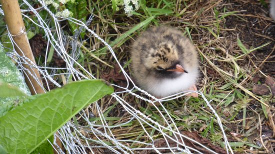 Графство Нортумберленд, UK: Young Arctic Tern on Inner Farne.