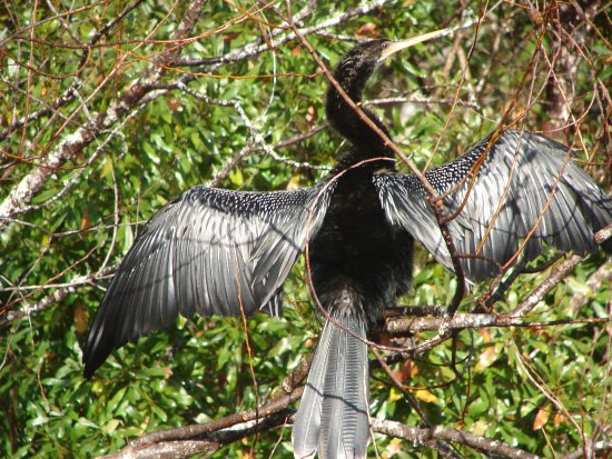 Shore birds: Pt 2: Anhingas, Herons and more, w/pictures from ...