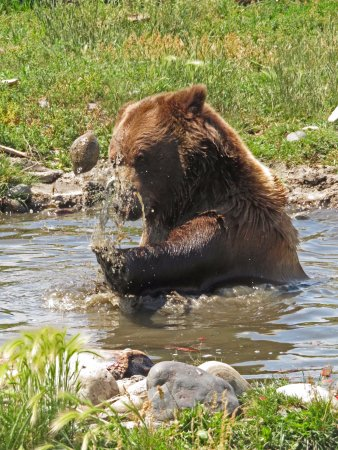 Montana Grizzly Encounter: Bella tossing a rock into the air