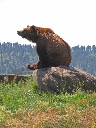 Montana Grizzly Encounter: Bella posing on a rock