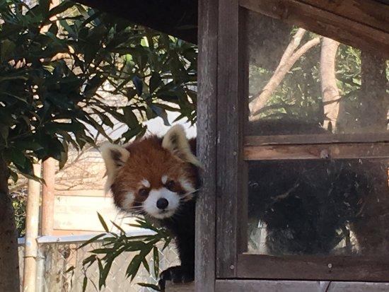 Omuta City Zoo: レッサーパンダのレン君