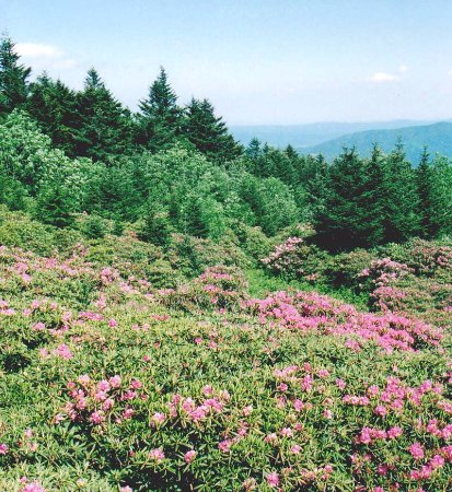 Burnsville, Carolina del Norte: Roan Mountain and rhododendrons in June, Rhododendron Festival is early June