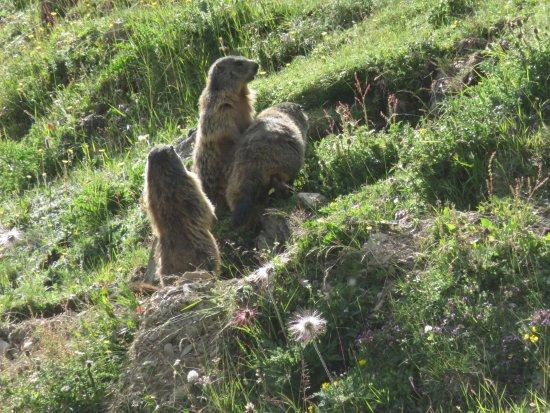 Trafoi, Italia: Murmeltiere vor dem Hotel