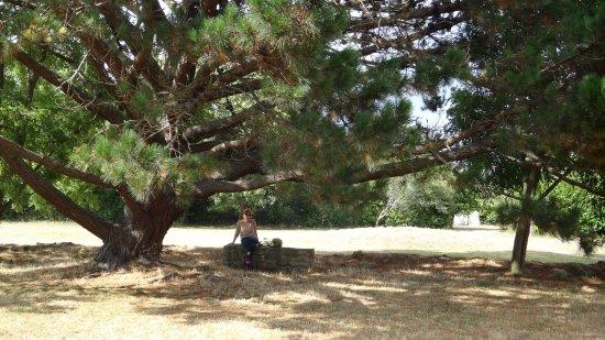 Ile-aux-Moines, Francia: Quel arbre magnifique!