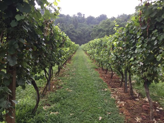 Lovingston, VA: Grapevines on the site